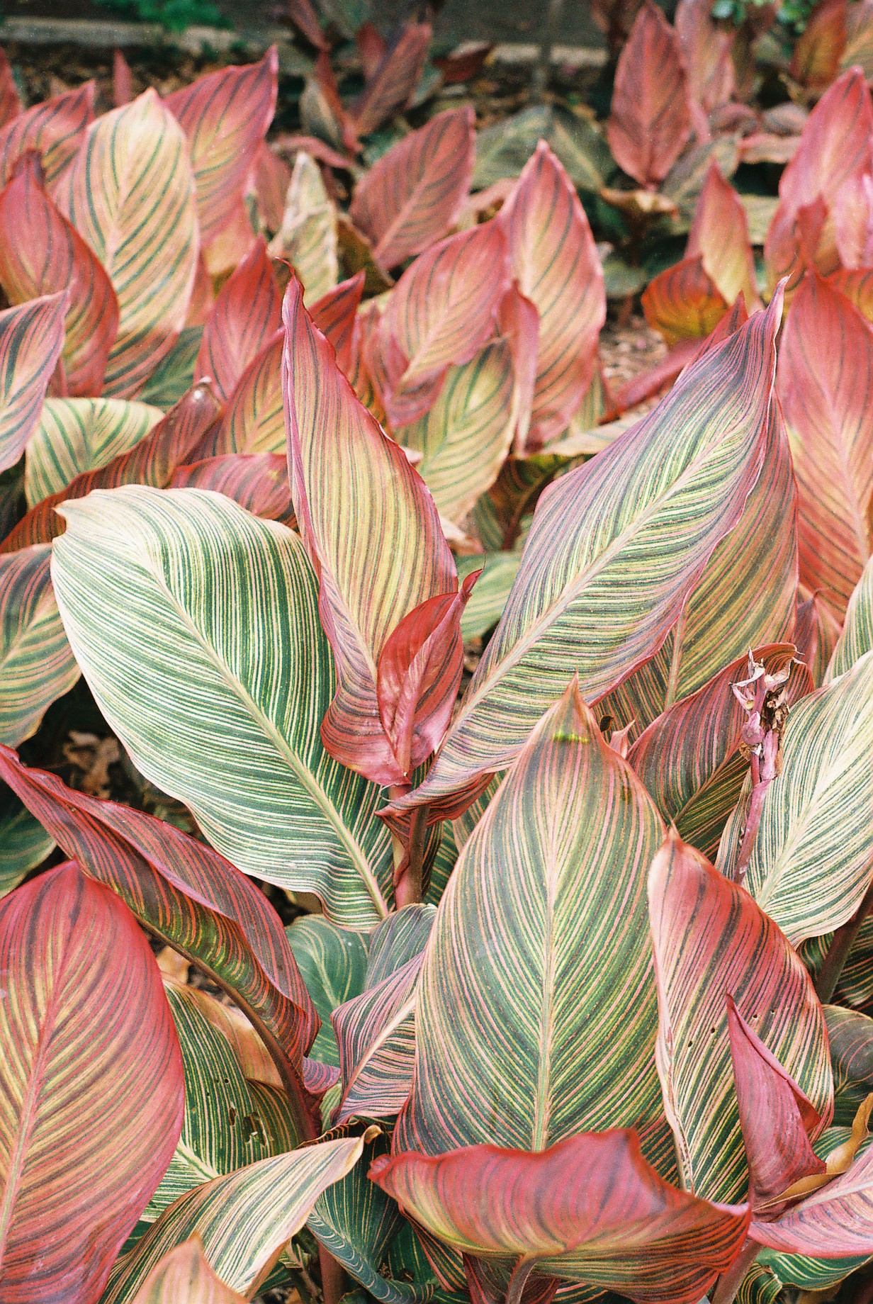 Brisbane Botanic Gardens Red Croton 35mm Film Travel Photographer
