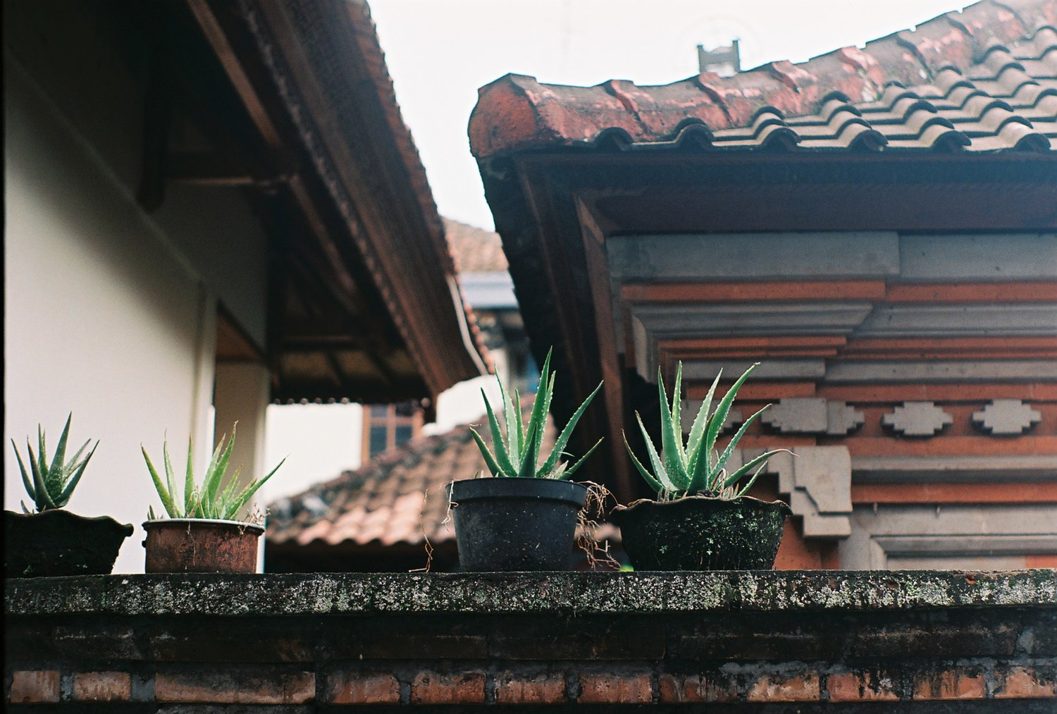Aloe Vera Ubud Bali Analogue Travel Photographer