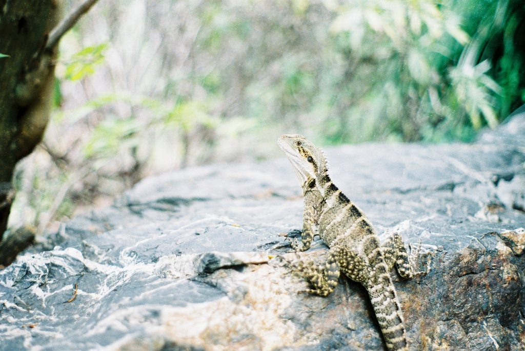 Brisbane Botanic Gardens Australian Water Dragon 35mm Film Travel Photographer