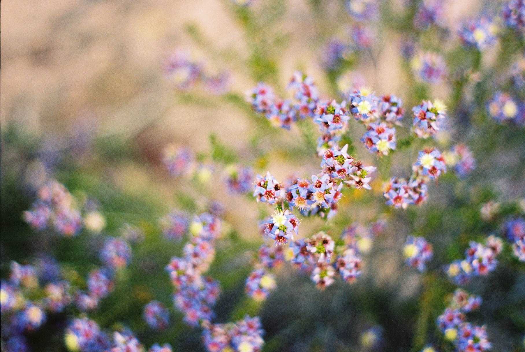 Kalbarri Z Bend Wildflowers Analogue Travel Photographer