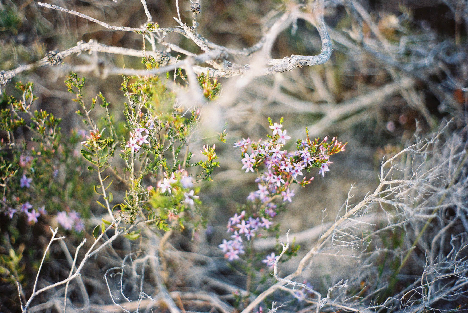 Indian Ocean Drive Wildflowers II Analogue Travel Photographer