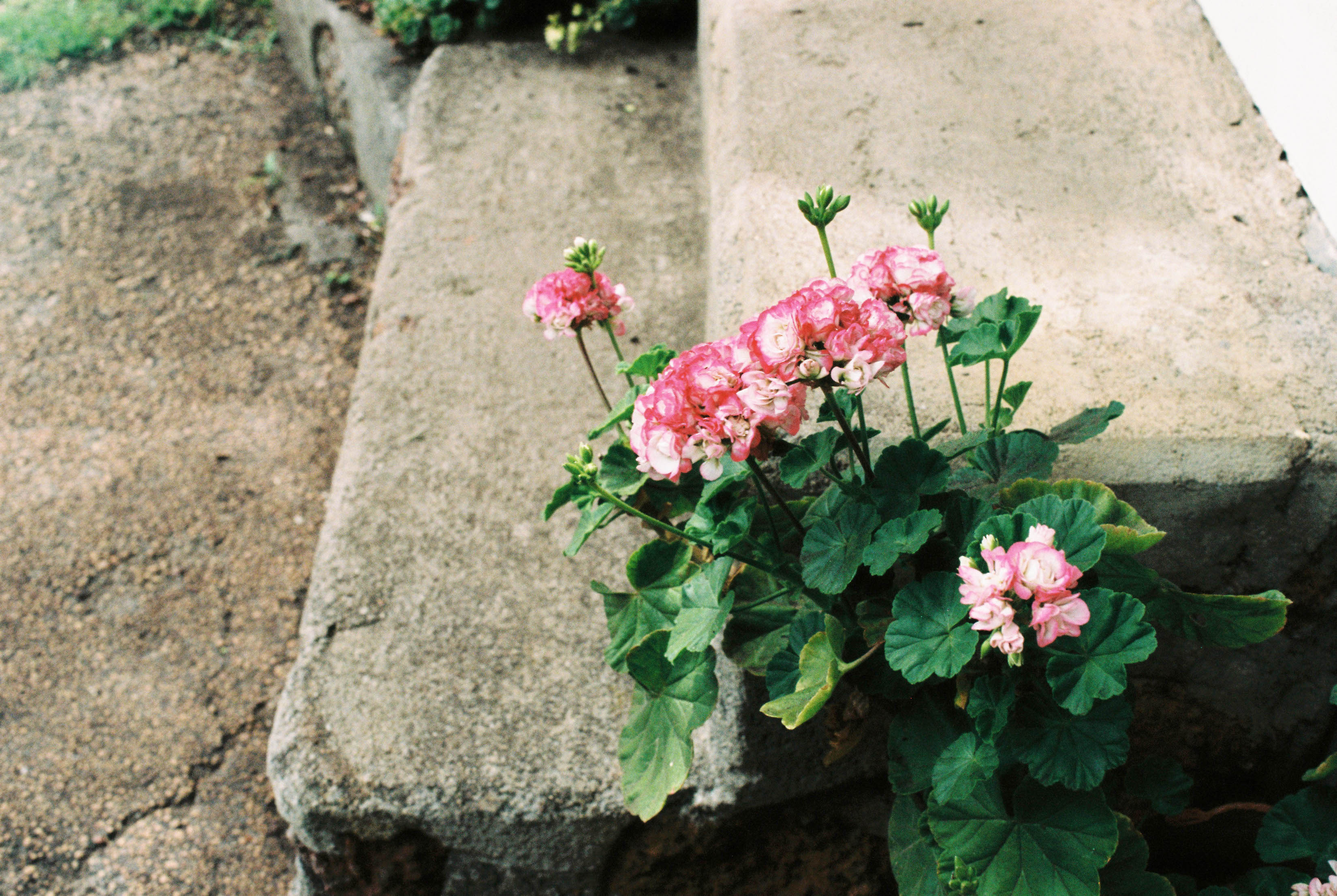 A photo of geraniums on a farm in Bridgetown, Australia the day of a wedding