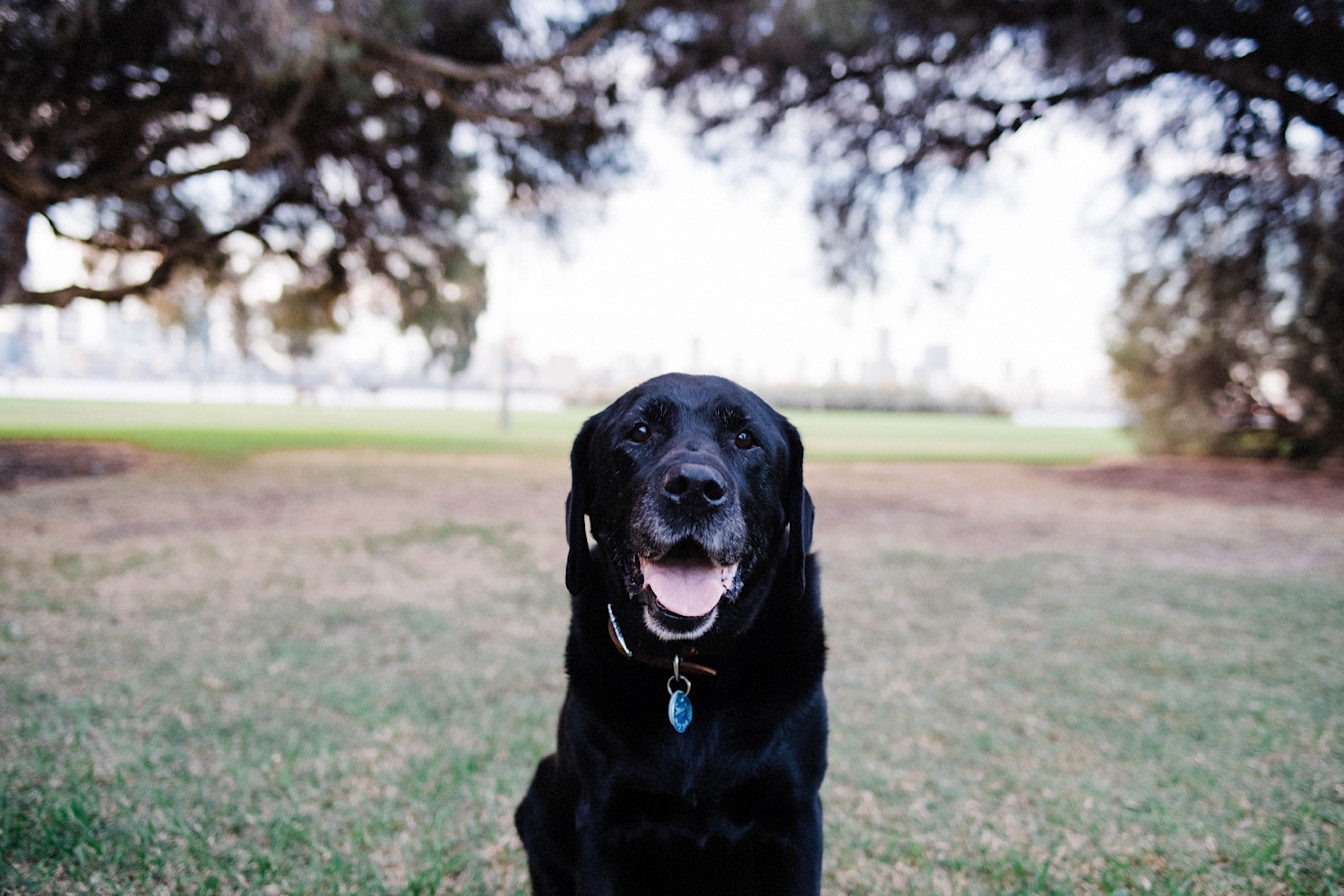 A portrait of an old black Labrador, looking at the camera with her tongue out.
