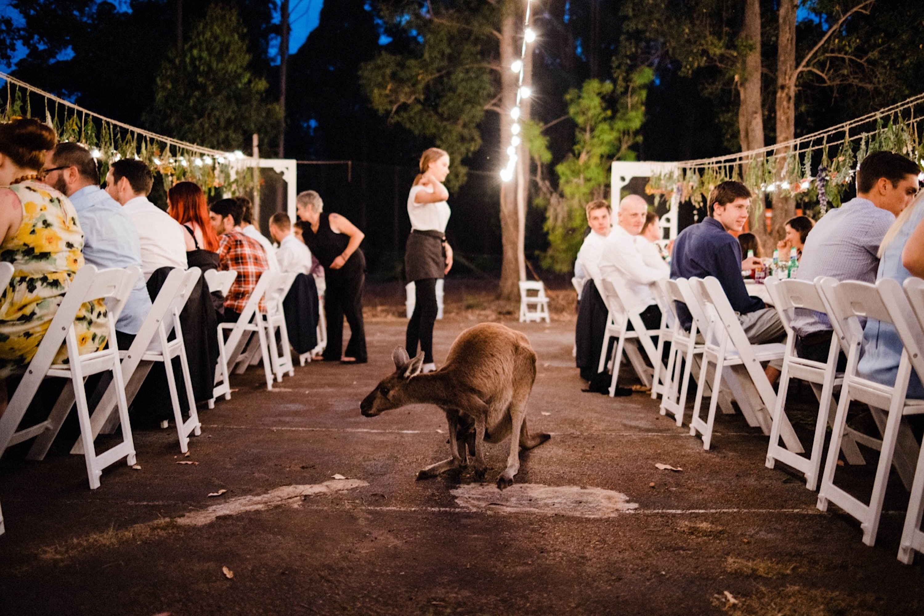 Documentary wedding photography of a kangaroo crashing a wedding reception.